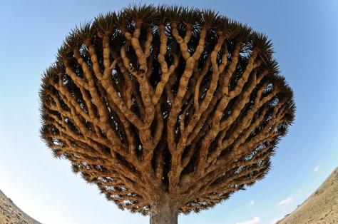 Socotra Dragon Blood Trees