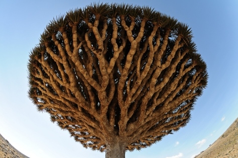 Socotra Dragon Blood Trees