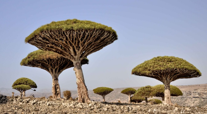 Strange Dragon Blood Trees