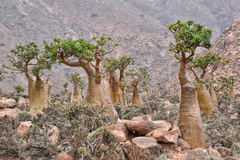 Strange Dragon Blood Trees of Socotra Island Yemen