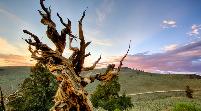 The Worlds' Oldest Trees 2