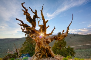 The Worlds' Oldest Trees