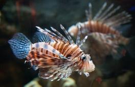 Japanese Fish 1