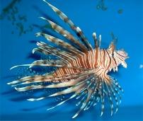 Japanese Fish 2