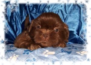 shih tzu puppies 2